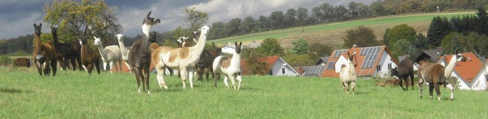 Goldborn-Lamas